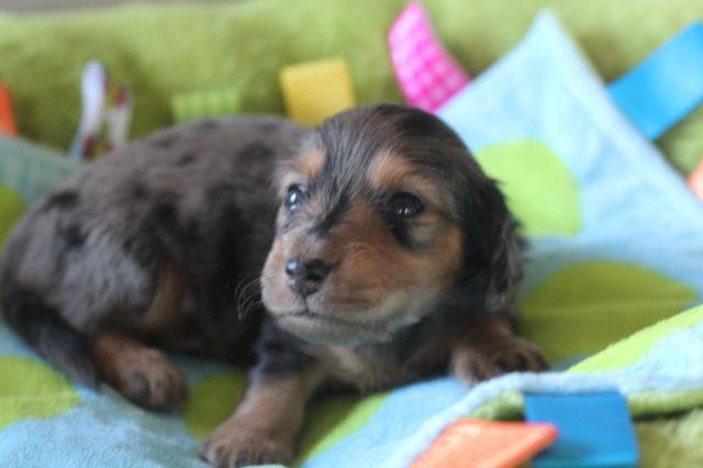 Gorgeous miniature dachshund puppies- dapple and cream!
