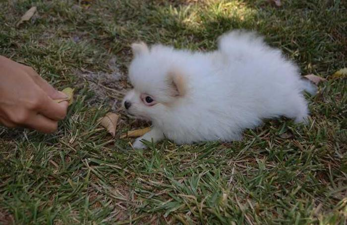 pomeranian for sale in sc gorgeous pomeranian puppies for sale in columbia south 6150