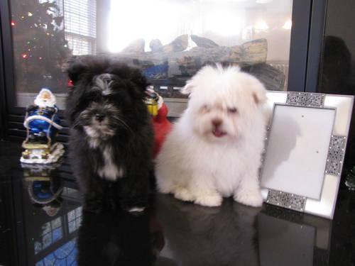 Gorgeous Postie Puppies Pomeranian Westie Yorkie Mix