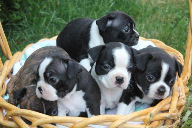 Gorgeous Pure Bread Boston Terrier Puppies For Sale In Portland Oregon Classified