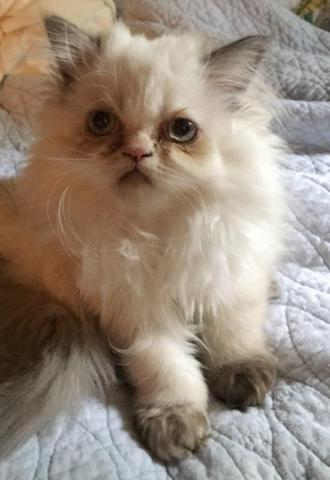 Gorgeous purebred Himalayan kittens