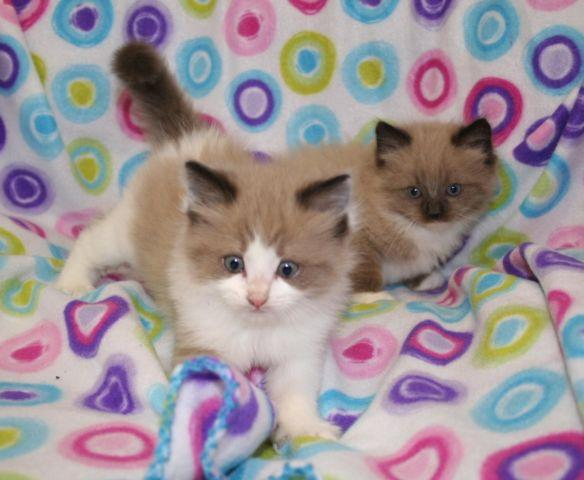 Gorgeous Ragdoll Kittens for Sale in Denver, Colorado