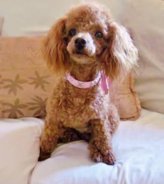 Gorgeous, Red, Female Toy Poodle