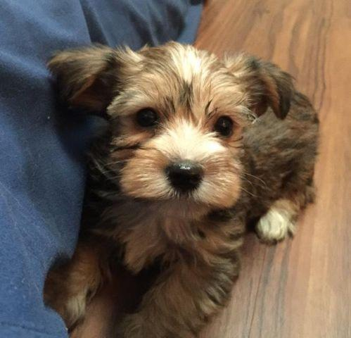 Gorgeous Sable Black White Male Yorkie Puppy For Sale In Belton