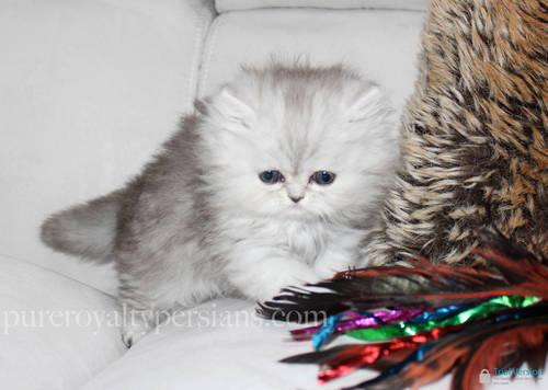 Shaded silver persian kittens for sale in ohio