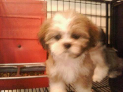 Gorgeous Shih Tzu Puppies 8 Weeks Old For Sale In