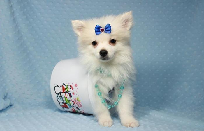 Gorgeous Show Quality Pomeranian Puppies For Sale Las Vegas