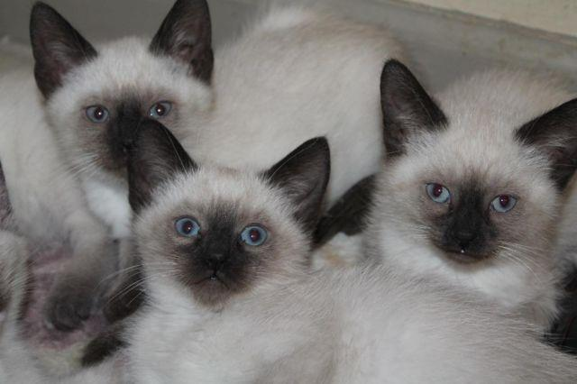 Siamese Lynx Kittens For Sale In Ohio Classifieds Buy And