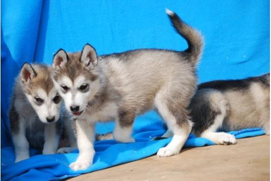 Gorgeous Siberian Husky Puppies For Sale For Sale In Memphis