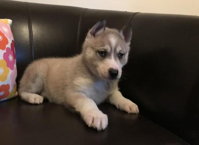Gorgeous Siberian husky puppies/Text me asap at(435)