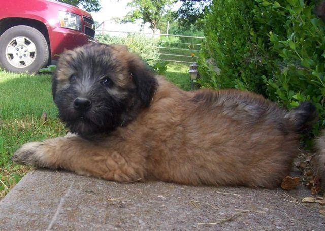 Gorgeous Soft Coated Wheaten puppies Males and females