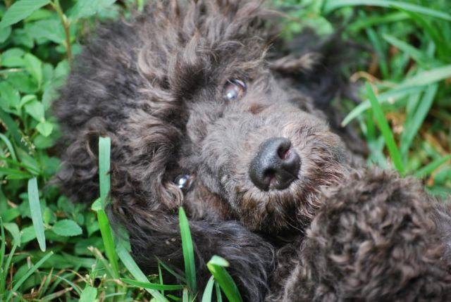 Gorgeous Solid Black Small Mini Poodle