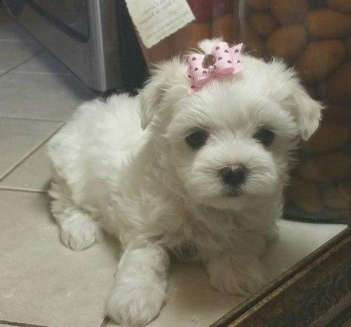 Maltese Teacup Puppies For Sale For Sale In Texas Classifieds