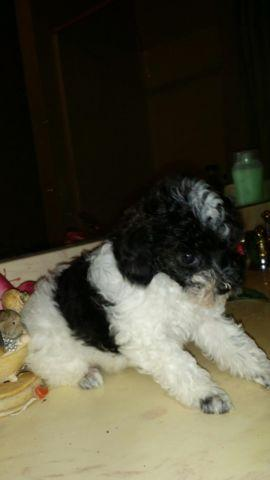 Gorgeous Teacup Poodle Puppy Black And White Parti For Sale