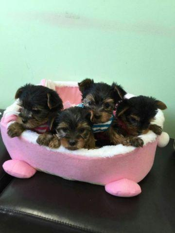 Gorgeous teacup Yorkie puppies