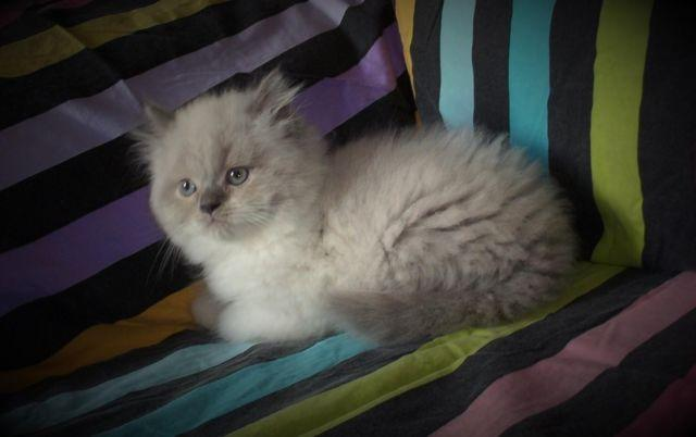 GORGEOUS UNIQUE BLUE POINT CFA HIMALAYAN MALE KITTEN