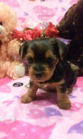 yorkie puppies for sale in philadelphia gorgeous yorkie puppies for sale in philadelphia 7509
