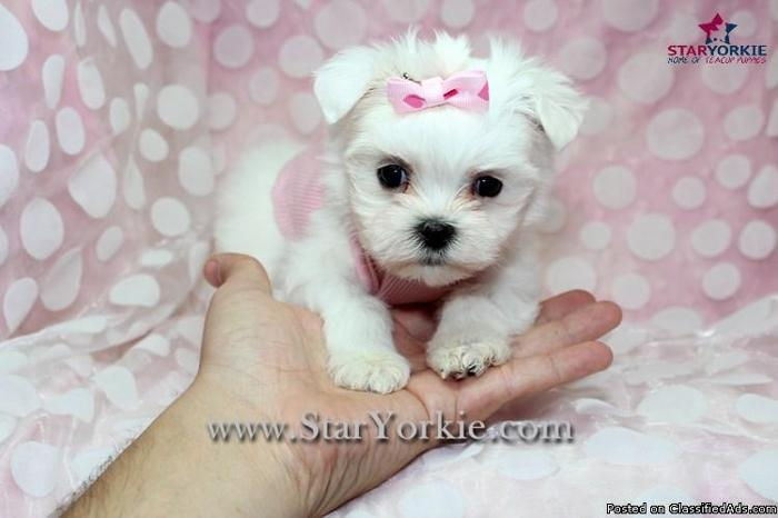 The gallery for --> Black Teacup Maltese Puppies