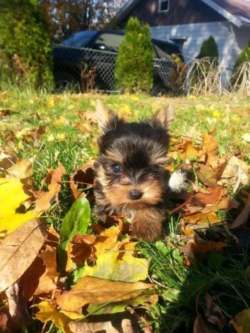 yorkie puppies for sale in philadelphia gorgeus akc teacup yorkshire terrier yorkie puppy for sale 2159