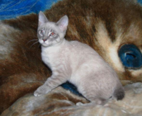 Snow leopard kittens for sale