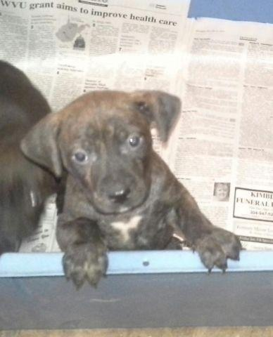 Gorgous Brindle Pit Bull/ Boxer mix Puppies Rescues for ...