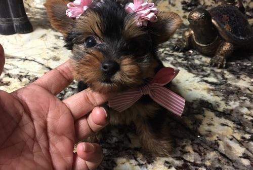 Gorgouse Tiny Yorkie Puppies For Sale