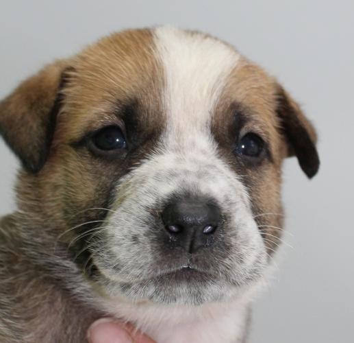 Grace Labrador Retriever Baby - Adoption, Rescue for Sale in