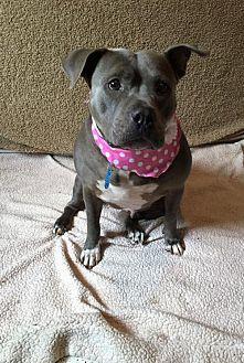 Adult female pitbull for sale