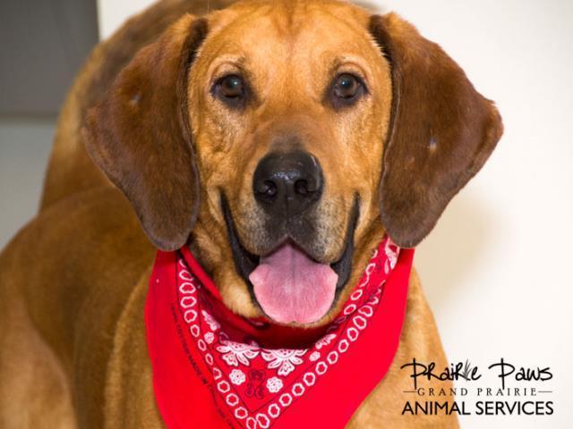 Gramps Bloodhound Adoption Rescue