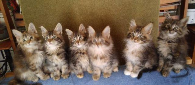 Grand Champion/Champion bred Maine Coon kittens