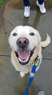 Grant (in need of Foster Home) Labrador Retriever Adult