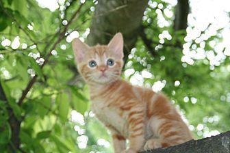 Grasshopper Domestic Shorthair Kitten Male