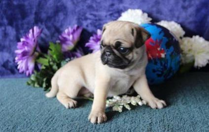 akc pug puppies for sale grdt akc registered fawn pug puppies for sale for sale in 9706