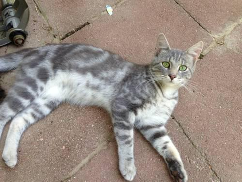 GREAT BARN CATS**** for Sale in Springfield, Missouri ...