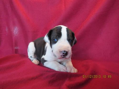Great Dane Akc Pups Taking Deposits For Sale In Rockford Illinois