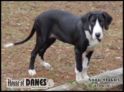 Great Dane - Annie Oakley