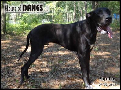 Great Dane Black Puppy For Sale - Squier