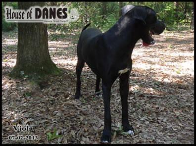 Great Dane Black Puppy For Sale - Viola