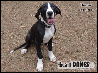 Great Dane - Boone