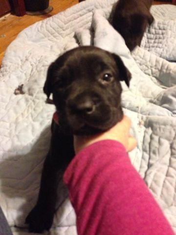 Great Dane Cane Corso Puppies For Sale In Cincinnati Ohio