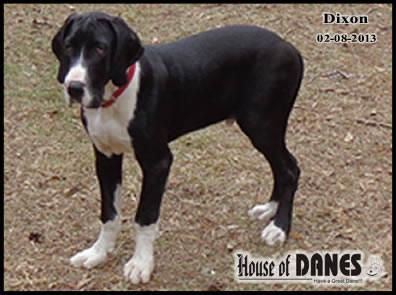 Great Dane - Dixon