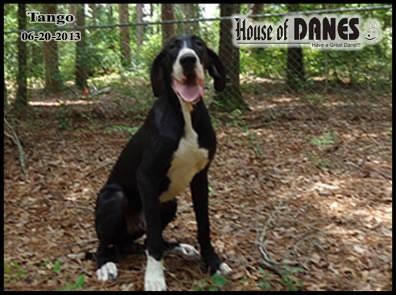Great Dane Mantle For Sale - Tango