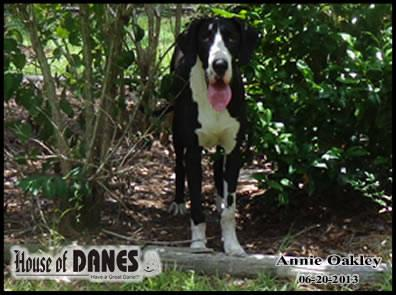 Great Dane Mantle Puppy For Sale - Annie Oakley