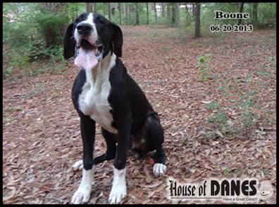 Great Dane Mantle Puppy For sale - Boone