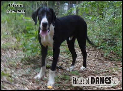 Great Dane Mantle Puppy For Sale - Dixon