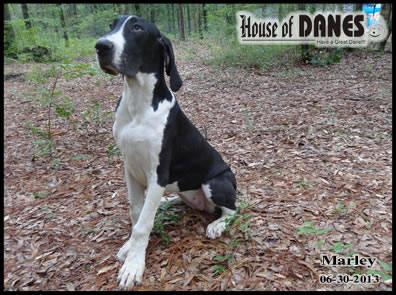 Great Dane Mantle Puppy for Sale - Marley