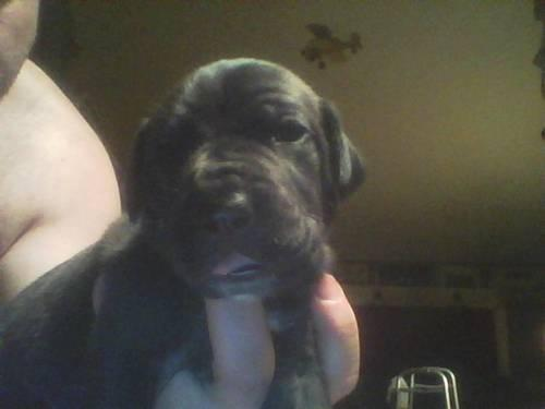Great Dane x Mastiff Puppies Great Dane / Mastiff Daniff