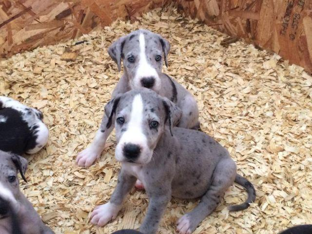 Great Dane Puppies (6 weeks Old) for Sale in Richmond ...