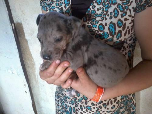 Great Dane Puppies For Sale In Doniphan Missouri Classified