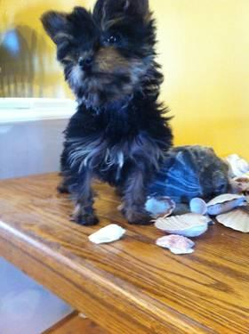 Great Dane Puppies for Sale in Chesapeake, Virginia ...